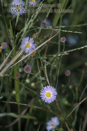 Aster subulé Photo 1