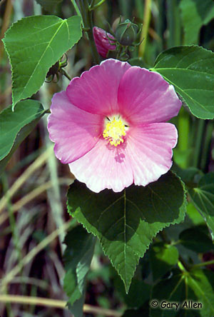 Swamp Rose-mallow Photo 1