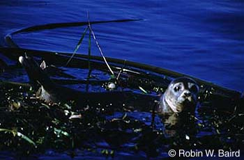 Harbour Seal Atlantic and Eastern Arctic subspecies Photo 1