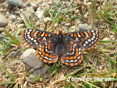 Taylor's Checkerspot Photo 1