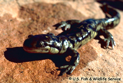 Tiger Salamander Photo 1